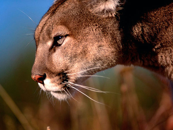 León de la montaña